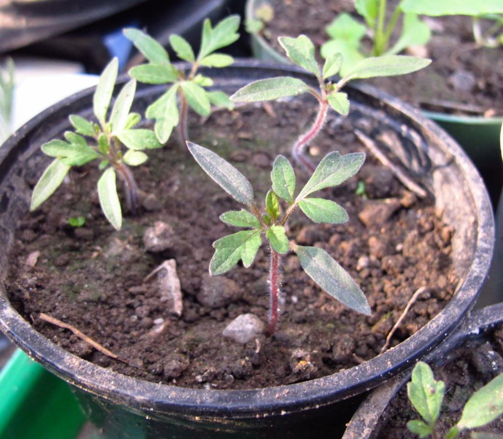 Kleine Tomatenpflänzchen