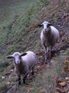 Zwei Schafe auf einer Weide.
