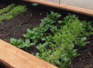 Hochbeet mit Feldsalat und Portulak
